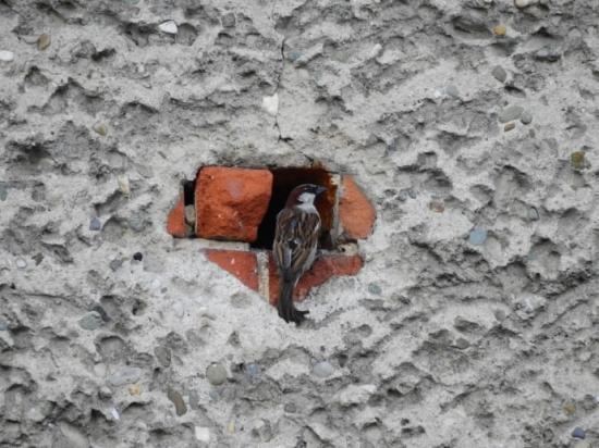 Gråsparv är en av de arter som använder hål i byggnader för att bygga bo.