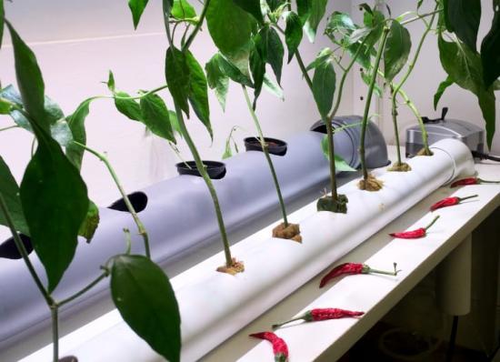 Hydroponik – en teknik som innebär att växter och grönsaker odlas i vatten utan jord, är en av idéerna som testas i Gröna Solberga. En utställningslokal där alla projekt visas, finns på Folkparksvägen i Solberga.