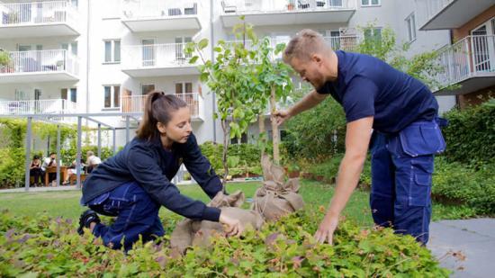 Fastighetsskötare från HSB planterar träd på innergård.